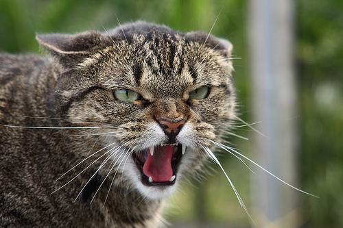 Tipuri de agresiune la pisici